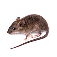 ふん 画像 ネズミ ネズミがいるか確かめる方法~ラットサインと被害例を解説~